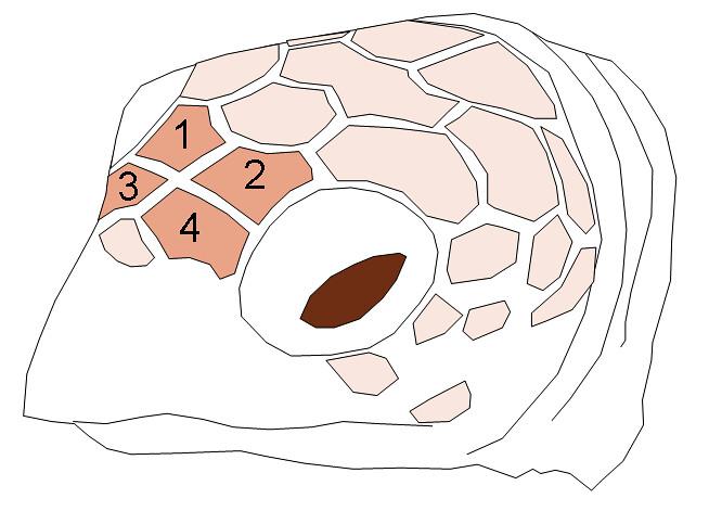 玳瑁的眼前鱗有兩對,而綠蠵龜只有一對。圖片來源:維基百科。http://zh.wikipedia.org/wiki/File:EretmochelysImbricata_HeadScutes.png