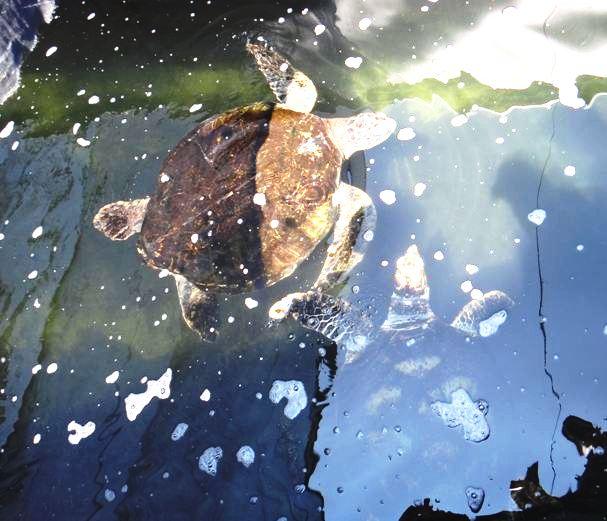 猜猜誰是玳瑁,誰是綠蠵龜?(左綠蠵龜,右為玳瑁)。圖片攝影:郭芙