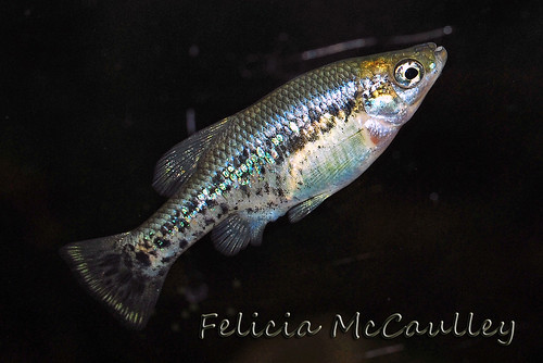 Ameca splendens Goodeid male