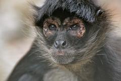 chimpanzee(0.0), western gorilla(0.0), tufted capuchin(0.0), capuchin monkey(0.0), langur(0.0), common chimpanzee(0.0), macaque(0.0), ape(0.0), animal(1.0), monkey(1.0), mammal(1.0), fauna(1.0), spider monkey(1.0), close-up(1.0), old world monkey(1.0), new world monkey(1.0), wildlife(1.0),