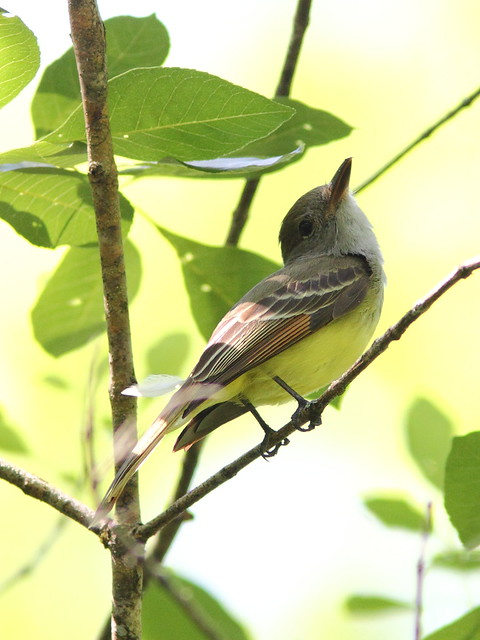 Great Crested Flycatcher 2-20130310