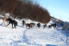 dog, winter, vehicle, snow, pet, mushing, dog sled, land vehicle, sled dog racing,