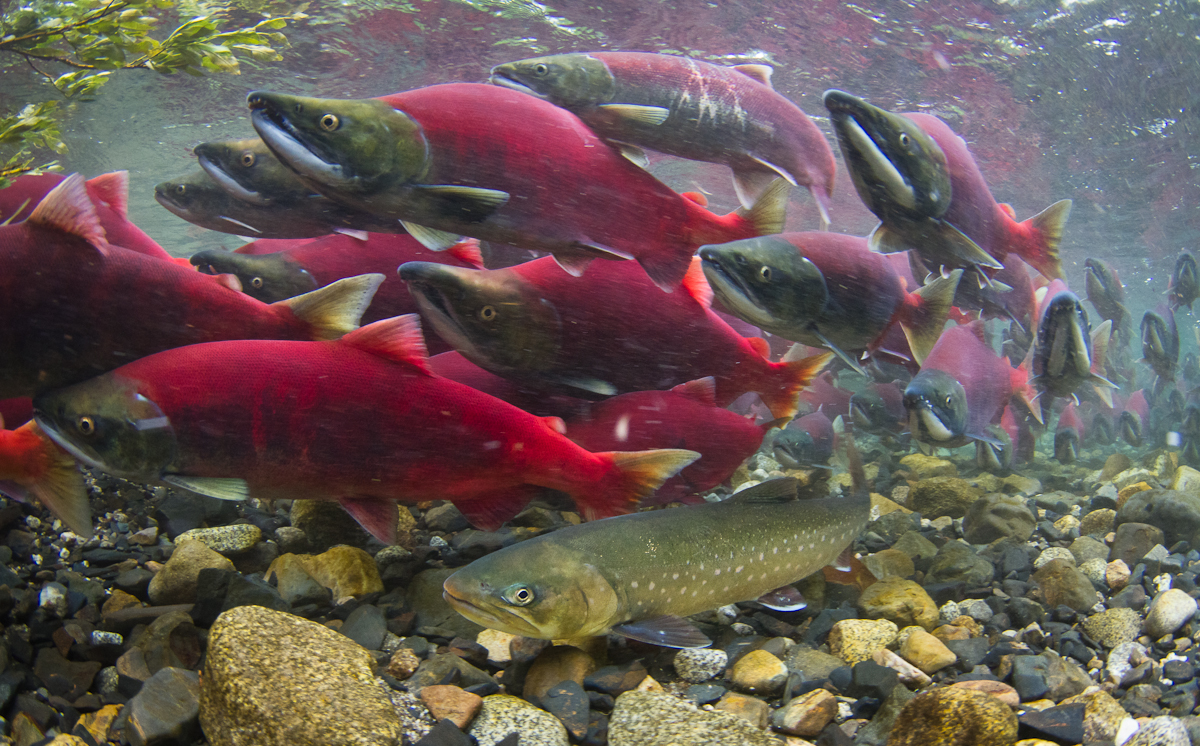 Dolly varden among sockeye salmon flickr photo sharing for Salmon fish pictures