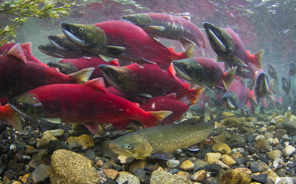 Dolly varden among sockeye salmon flickr photo sharing for Salmon fish images