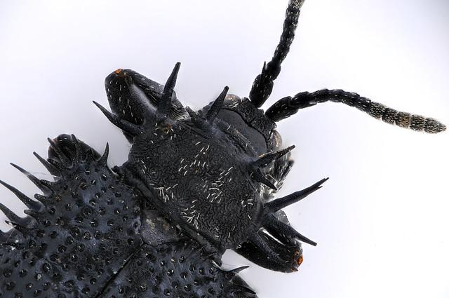 Hispellinus moerens