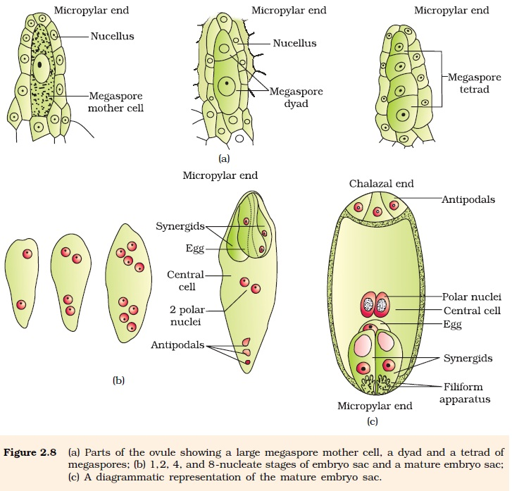 Importance of meiosis