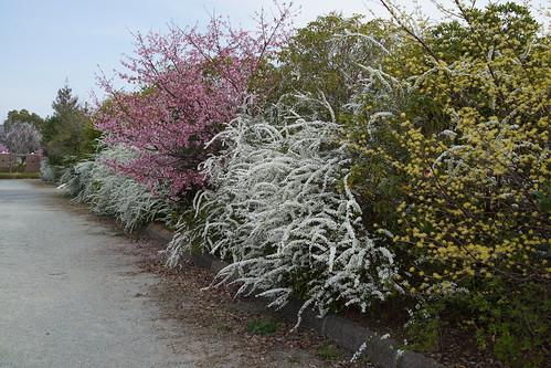 桜、ユキヤナギ、ヤマブキ…
