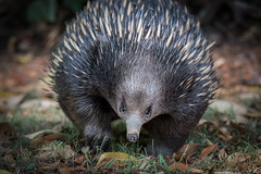 The Face of an Echidna