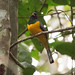 Green-Backed Trogon 7-06-2016-5105