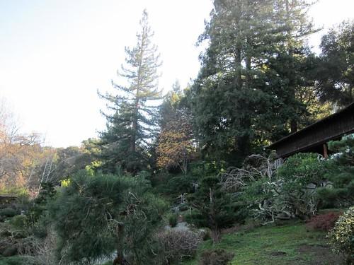 Hakone Japanese Gardens, Saratoga, CA, tree IMG_2411