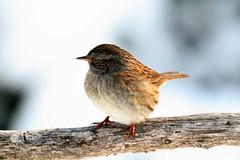 nightingale(0.0), robin(0.0), cinclidae(0.0), brambling(0.0), blackbird(0.0), animal(1.0), sparrow(1.0), ortolan bunting(1.0), branch(1.0), nature(1.0), fauna(1.0), finch(1.0), junco(1.0), close-up(1.0), emberizidae(1.0), beak(1.0), house sparrow(1.0), bird(1.0), wildlife(1.0),