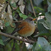 Small photo of Rufous-backed Robin