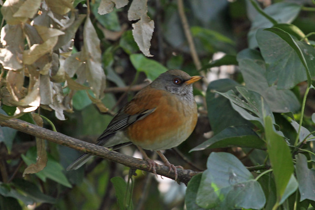 Header of Rufous-Backed Robin