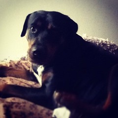 Someone got hurt today. #poorbaby #firstworldproblems #rottie #rottweiler #dogsofinstagram  #philadelphia #atlanta #miami #nyc