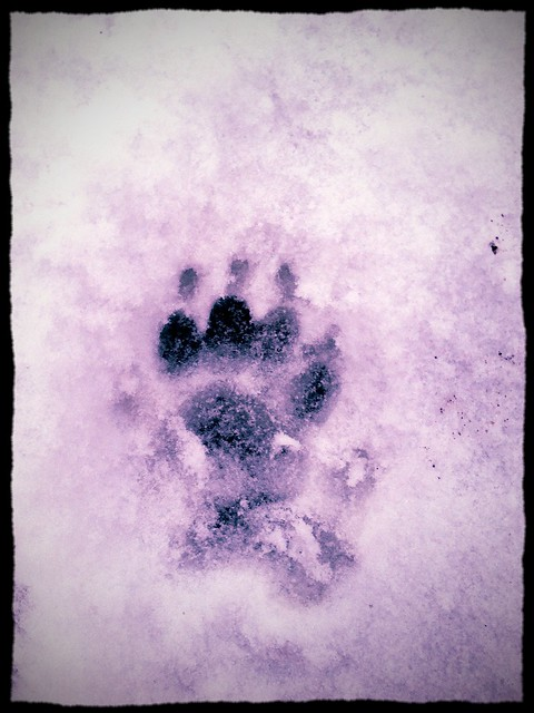 Badger prints in the snow