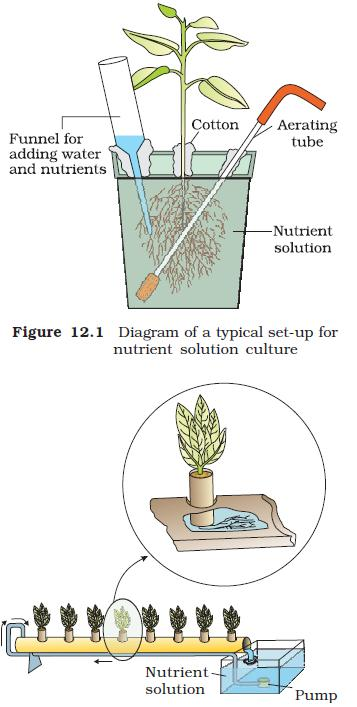 NCERT Class XI Biology: Chapter 12 - Mineral Nutrition