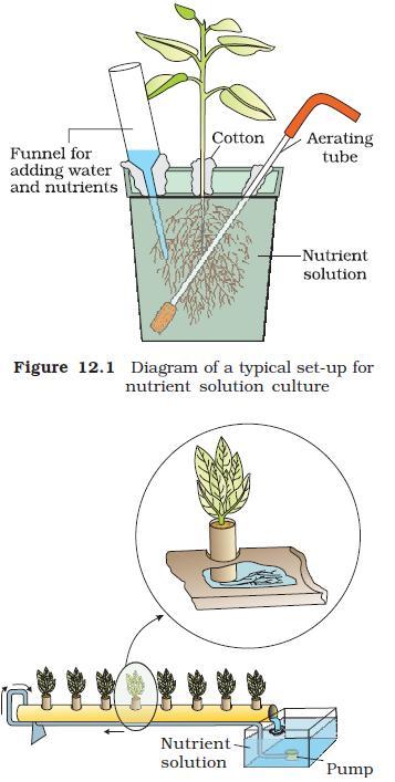NCERT Class XI Biology Chapter 12 ndash Mineral Nutrition