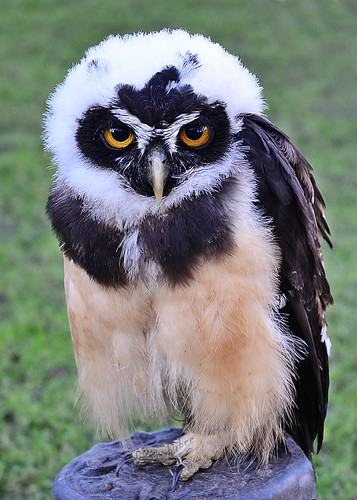 Spectacled Owl by birbee