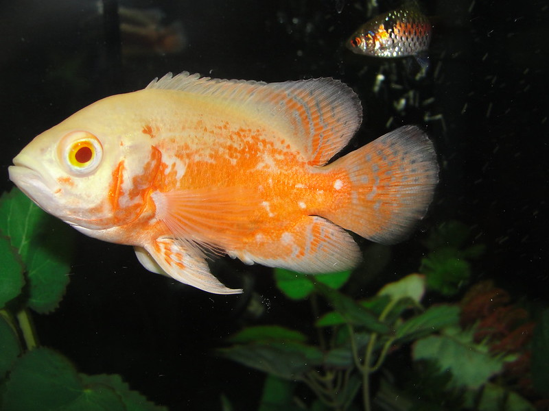 Show Off Your Red Oscar Page 15 Oscar Fish Advice Forum