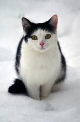 [フリー画像素材] 動物 (哺乳類), 猫・ネコ ID:201302151600