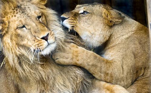 [フリー画像素材] 動物 (哺乳類), ライオン, 動物 - カップル, 怒る ID:201302161600