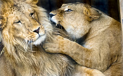[Free Images] Animals (Mammals), Lions, Animals - Couple, Get Angry ID:201302161600