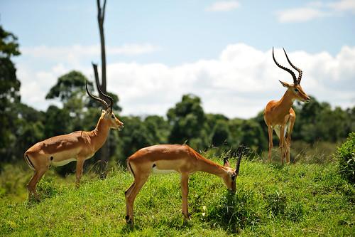 Grand gazelles