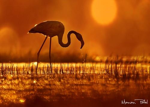 photographer bokeh wildlife flamingo wilderness gujarat indianwildlife beautifulphoto bokehlicious flickraward thollake mananpatel