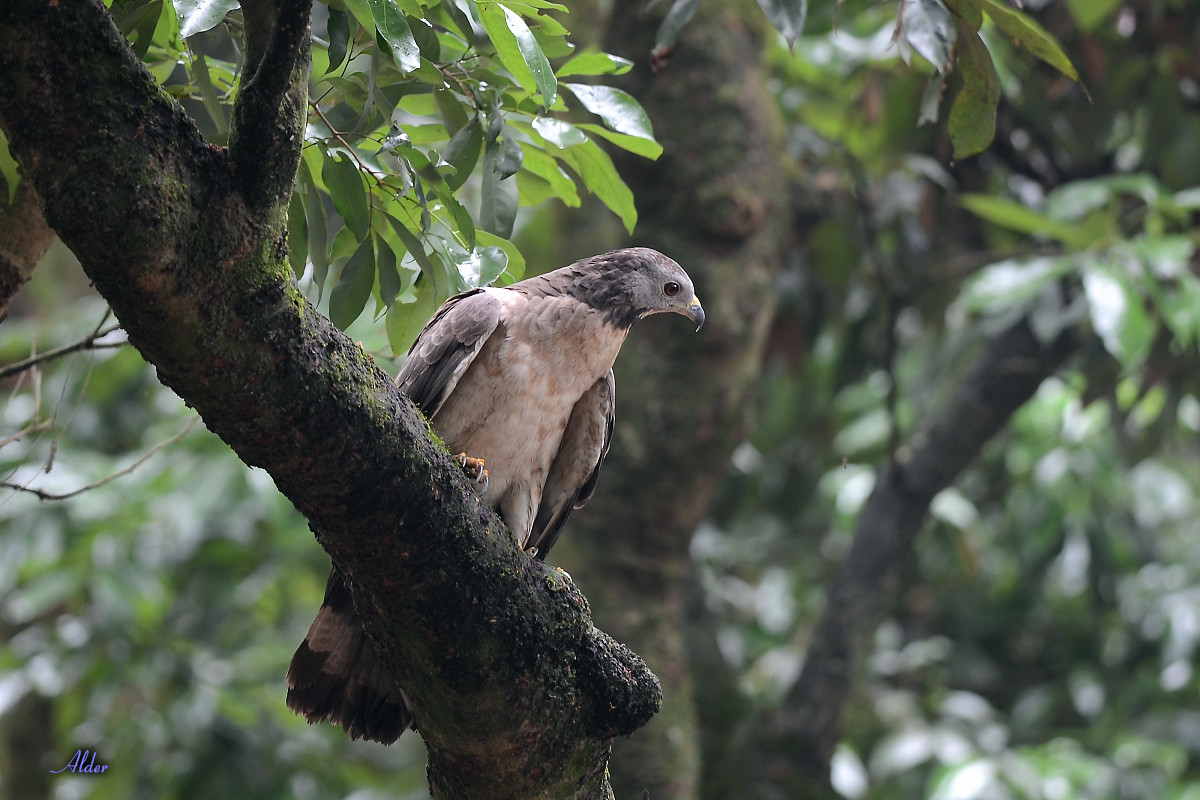 Honey_Buzzard_5500