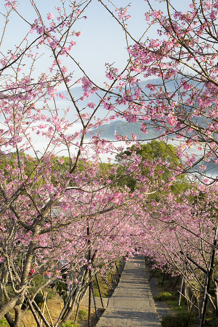 cherry blossoms with sea of clouds in Nantou, Taiwan