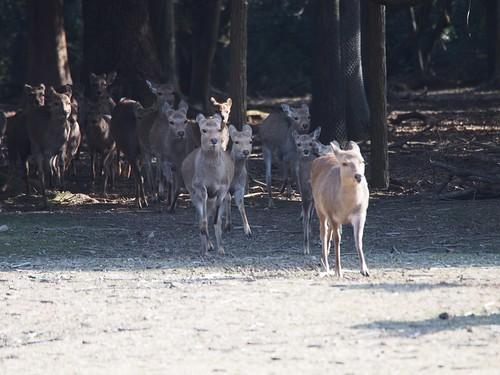 走ってくる鹿たち