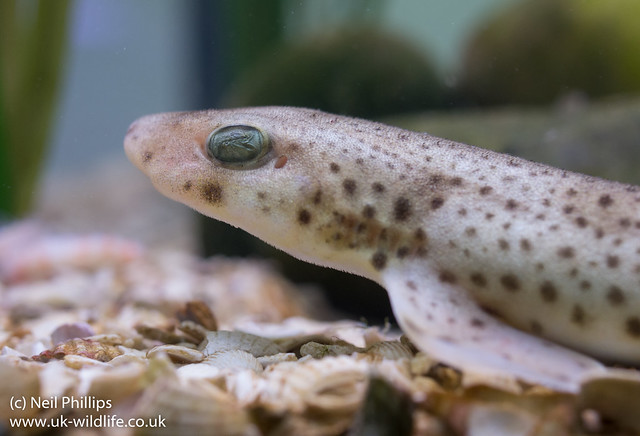 small spotted catshark Dogfish 2