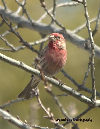 nature birds wildlife finches housefinches nikond5100 malehousefinchhaemorhousmexicanus