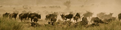 8530317968 c311a2abed When is the Best Time to See The Great Migration? Three Perspectives on One Phenomenon.