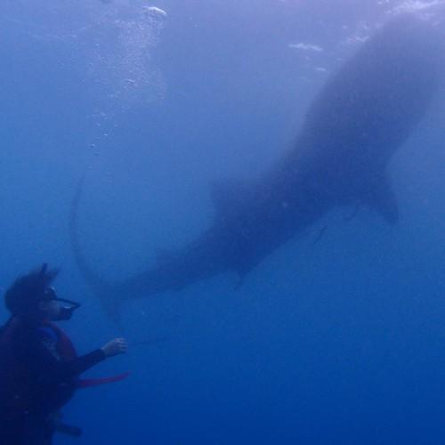 動物何價~宿霧篇:鯨鯊02