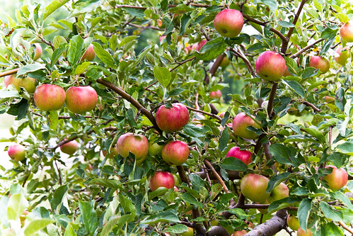 apple tree by McBeth