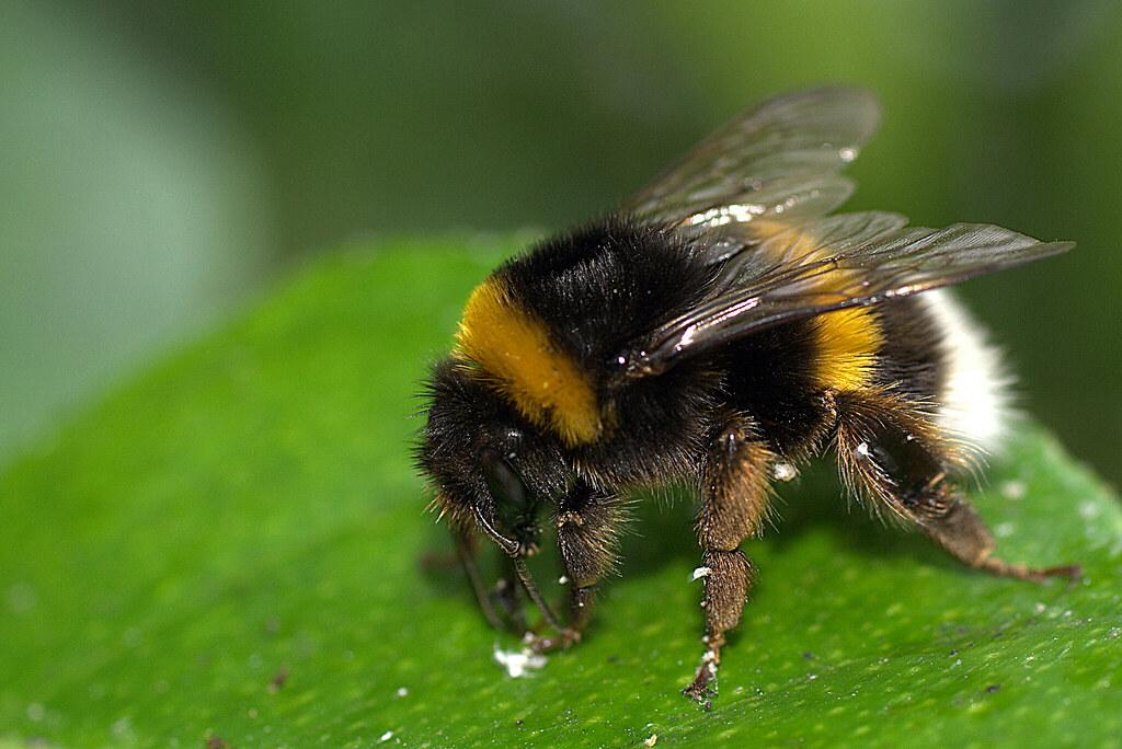 un abejorro