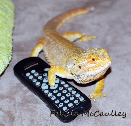 Bearded Dragon with TV Remote