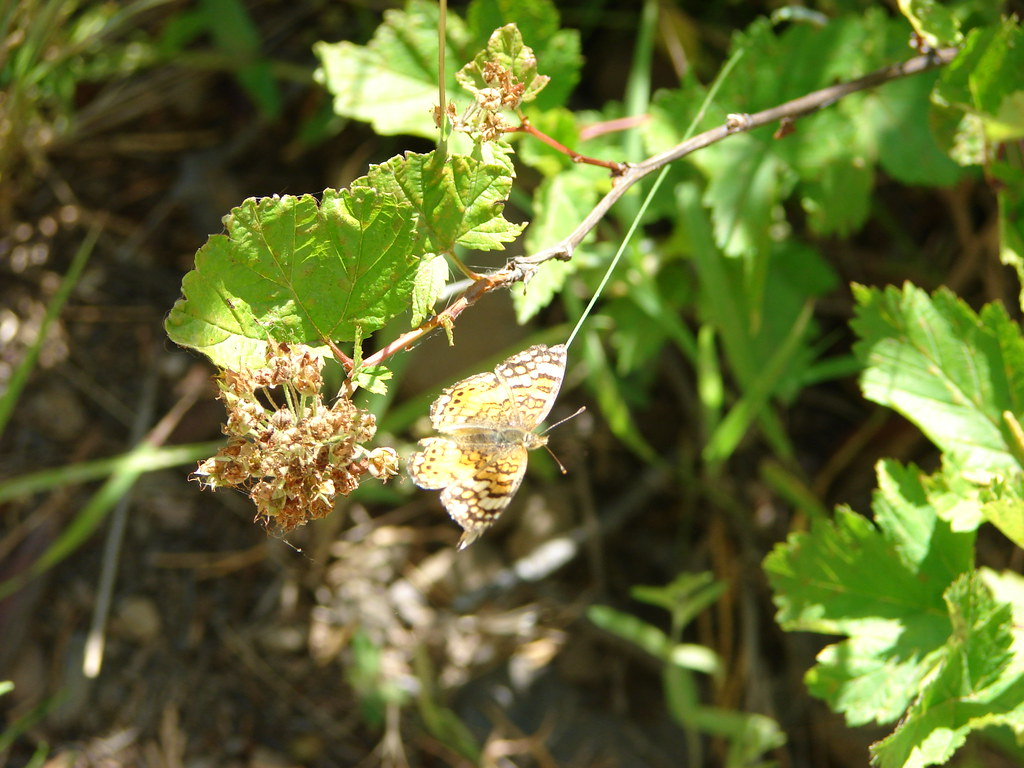 Mylitta crescent butterfly