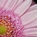 03-15-pink-gerbera by Paul Sibley