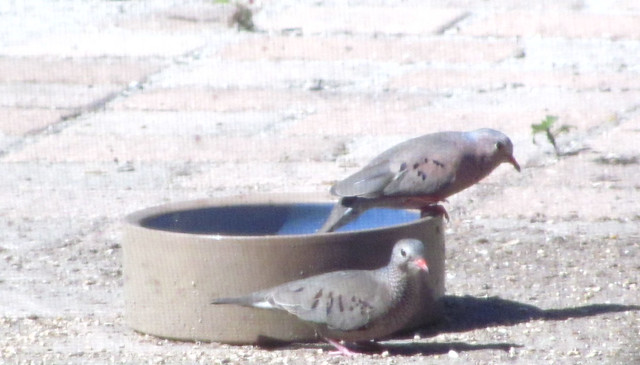 Pair of ground doves in bowl