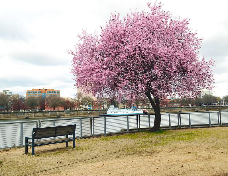 Riverside Cherry Blossom