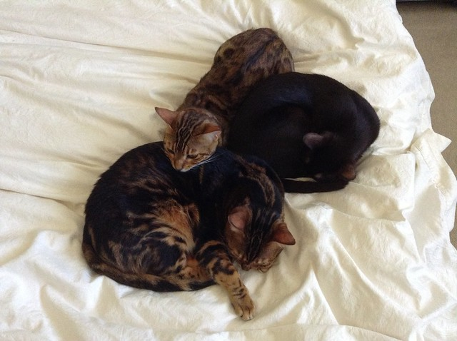 Cuddle Puddle of Bengals and a Havana Brown!