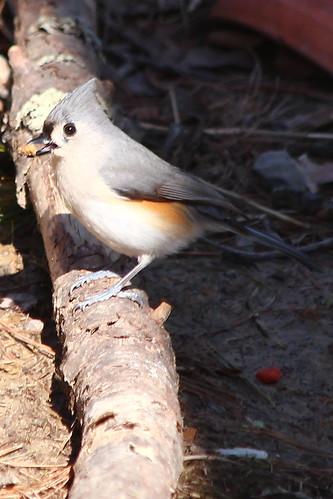 bird nature virginia wildlife va 365 2013 millborova 032213
