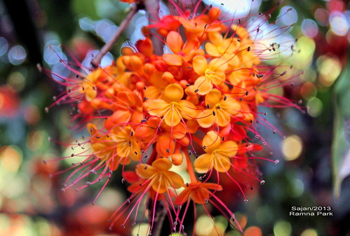Happy Holi (festival of colors) ~ অশোক ফুল  ~Ashoke flower - Saraca asoca