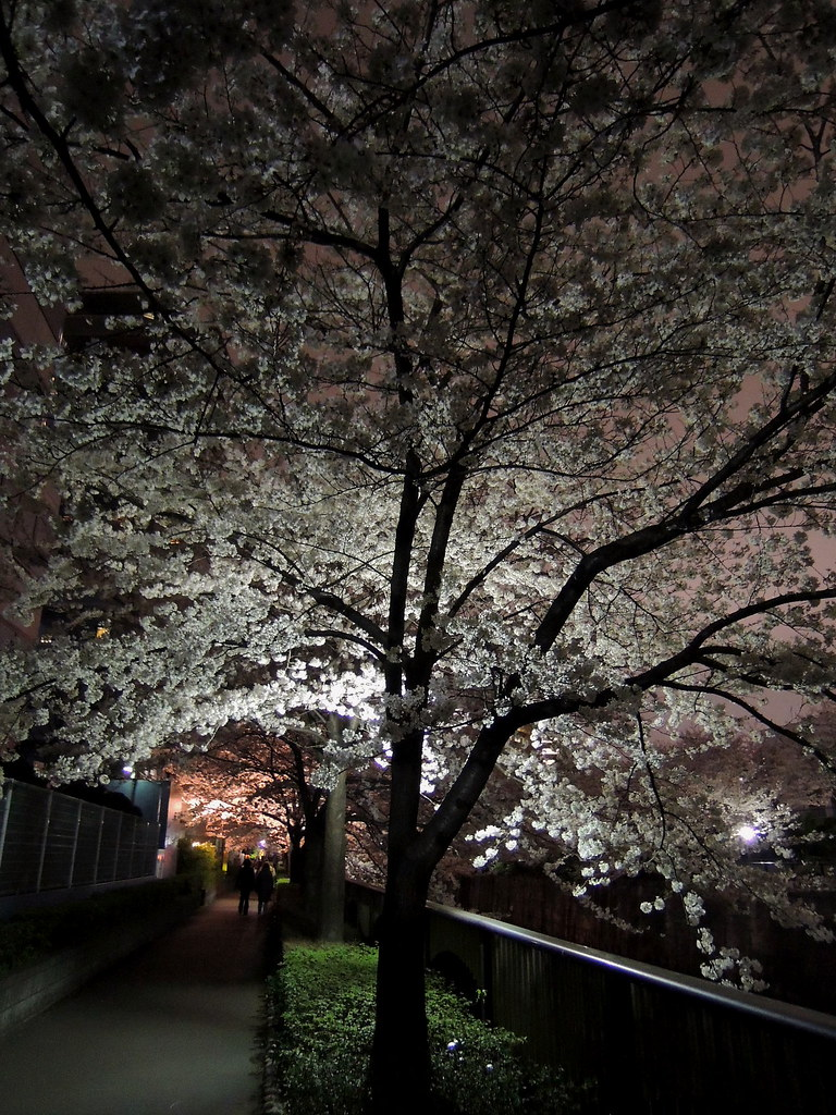 Cherry Blossoms in the Night