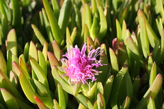 flower, leaf, nature, macro photography, wildflower, flora, green, close-up, ice plant,