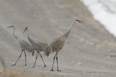 Sandhill Cranes-45033.jpg by Mully410 * Images