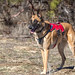 Bodie (Belgian Malinois) of Southwest Search Dogs - Winner of 2016 American Kennel Club Award for Canine Excellence (ACE Award) in the Search and Rescue category by Jim Frazee