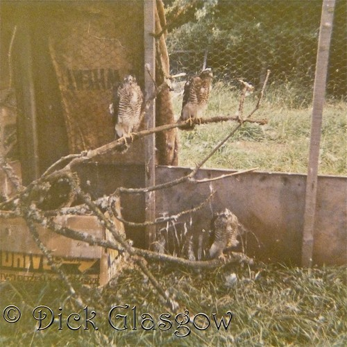 4 Young Sparrowhawks